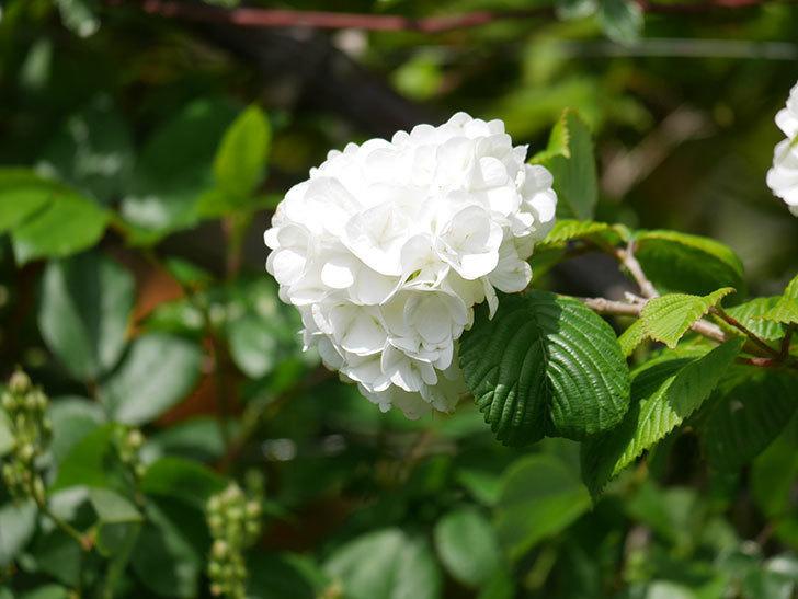 オオデマリ(大手鞠)の花が綺麗に咲いた。2021年-020.jpg