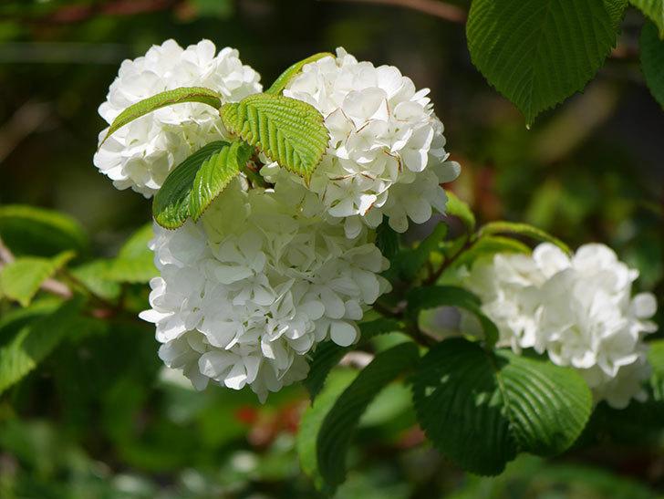 オオデマリ(大手鞠)の花が綺麗に咲いた。2021年-021.jpg