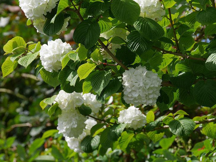 オオデマリ(大手鞠)の花が綺麗に咲いた。2021年-022.jpg