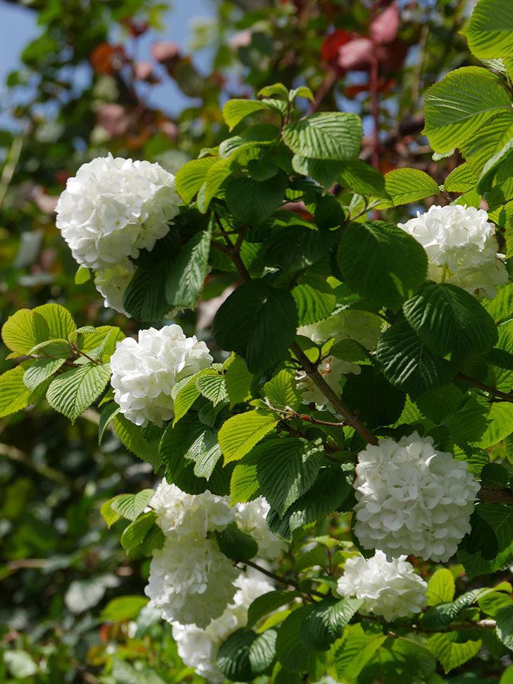 オオデマリ(大手鞠)の花が綺麗に咲いた。2021年-023.jpg