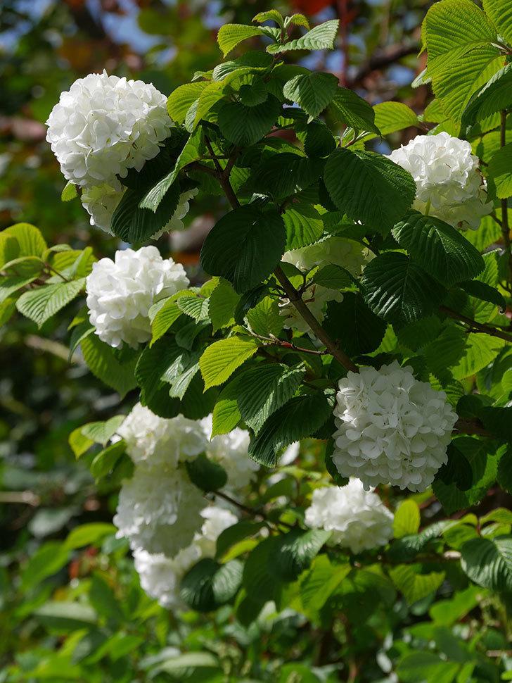 オオデマリ(大手鞠)の花が綺麗に咲いた。2021年-024.jpg