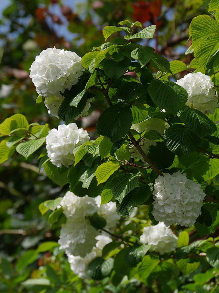 オオデマリ(大手鞠)の花が綺麗に咲いた。2021年-025.jpg
