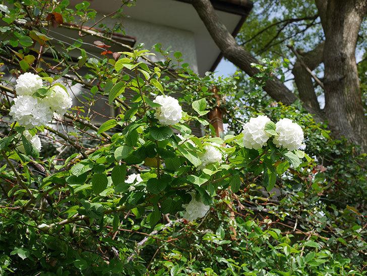 オオデマリ(大手鞠)の花が綺麗に咲いた。2021年-027.jpg