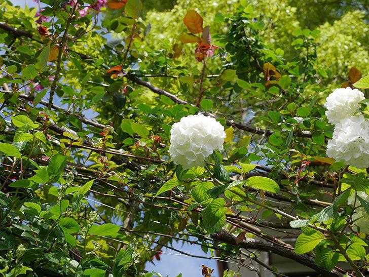 オオデマリ(大手鞠)の花が綺麗に咲いた。2021年-028.jpg