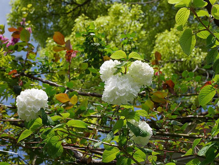 オオデマリ(大手鞠)の花が綺麗に咲いた。2021年-029.jpg