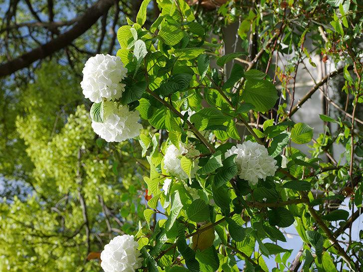 オオデマリ(大手鞠)の花が綺麗に咲いた。2021年-030.jpg
