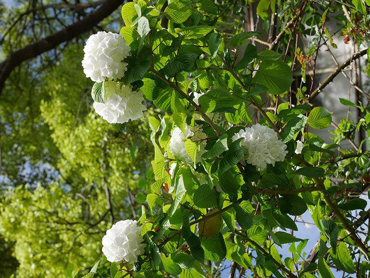 オオデマリ(大手鞠)の花が綺麗に咲いた。2021年-031.jpg