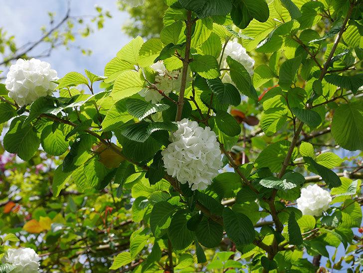 オオデマリ(大手鞠)の花が綺麗に咲いた。2021年-032.jpg