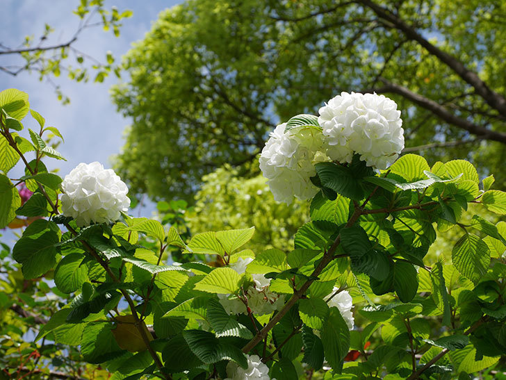 オオデマリ(大手鞠)の花が綺麗に咲いた。2021年-033.jpg