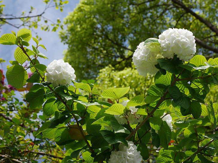 オオデマリ(大手鞠)の花が綺麗に咲いた。2021年-034.jpg
