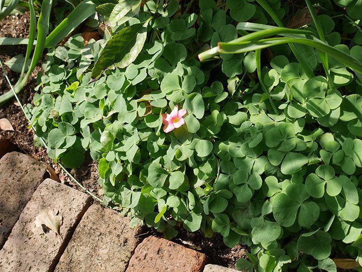 オキザリスが咲きだした。2018年-4.jpg
