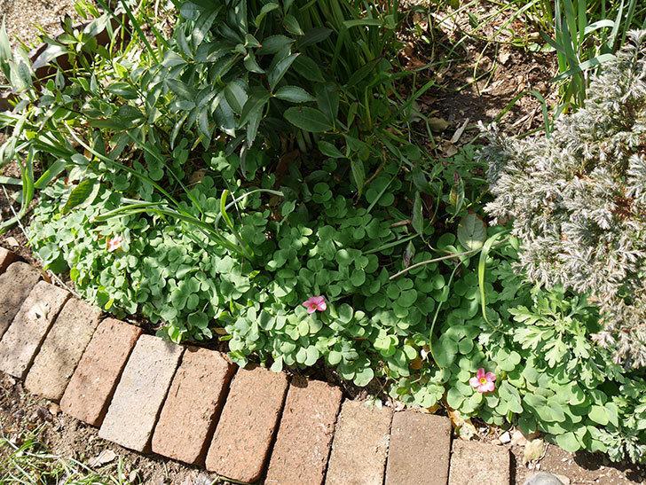 オキザリスが咲きだした。2018年-5.jpg