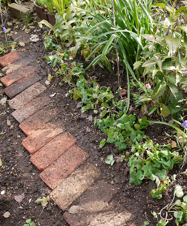 オキザリスを地植えした。2016年-12.jpg