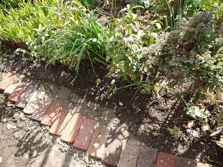 オキザリスを地植えした。2016年-3.jpg
