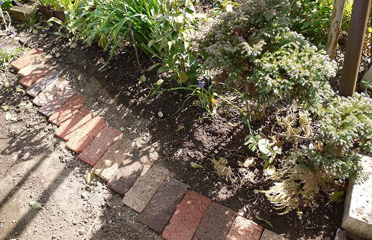 オキザリスを地植えした。2016年-4.jpg