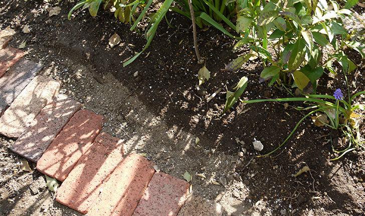 オキザリスを地植えした。2016年-5.jpg