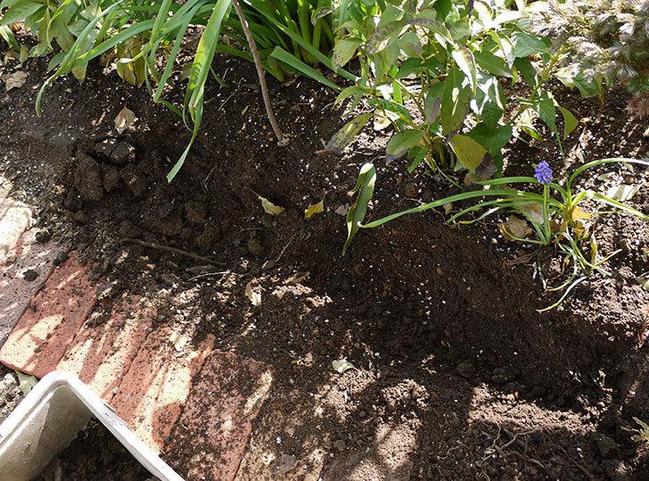 オキザリスを地植えした。2016年-6.jpg