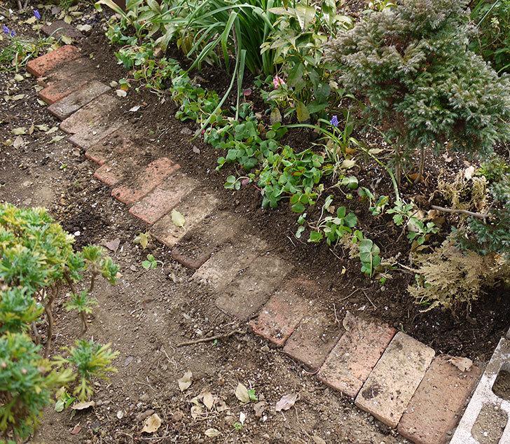 オキザリスを地植えした。2016年-8.jpg