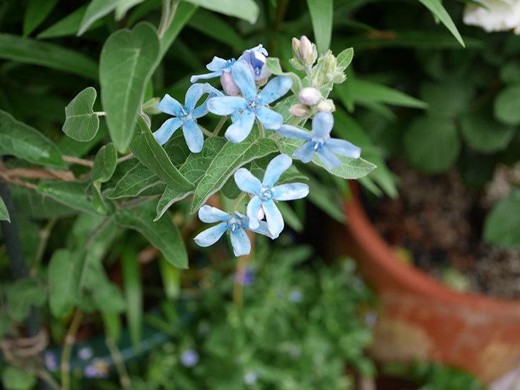 オキシペタラム-ブルースターの花が咲いた。2019年-2.jpg