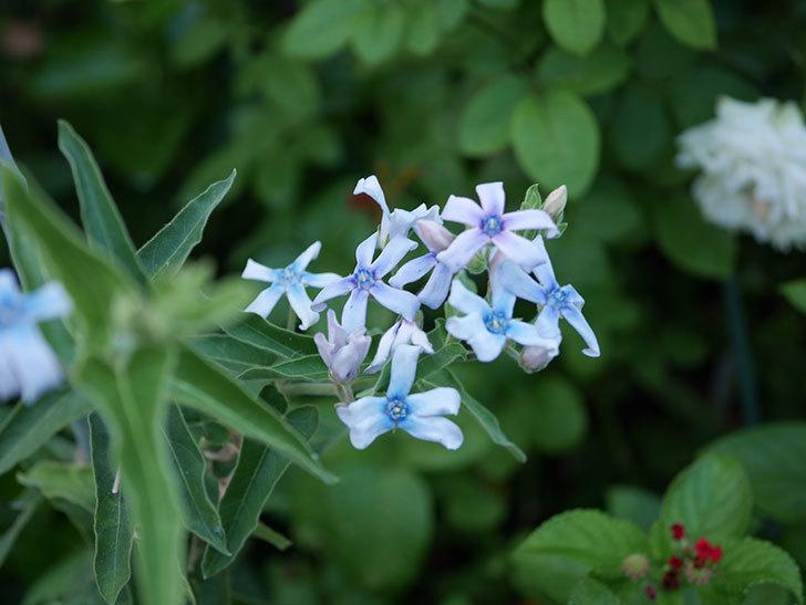 オキシペタラム ブルースターの花がまた咲いた。2020年-001.jpg