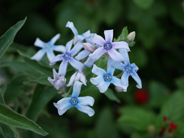 オキシペタラム ブルースターの花がまた咲いた。2020年-002.jpg