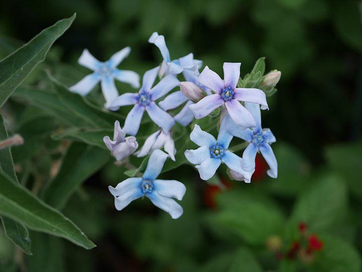 オキシペタラム ブルースターの花がまた咲いた。2020年-003.jpg