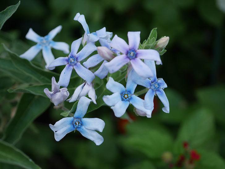 オキシペタラム ブルースターの花がまた咲いた。2020年-004.jpg