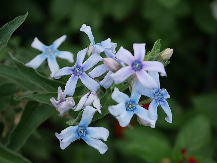オキシペタラム ブルースターの花がまた咲いた。2020年-005.jpg