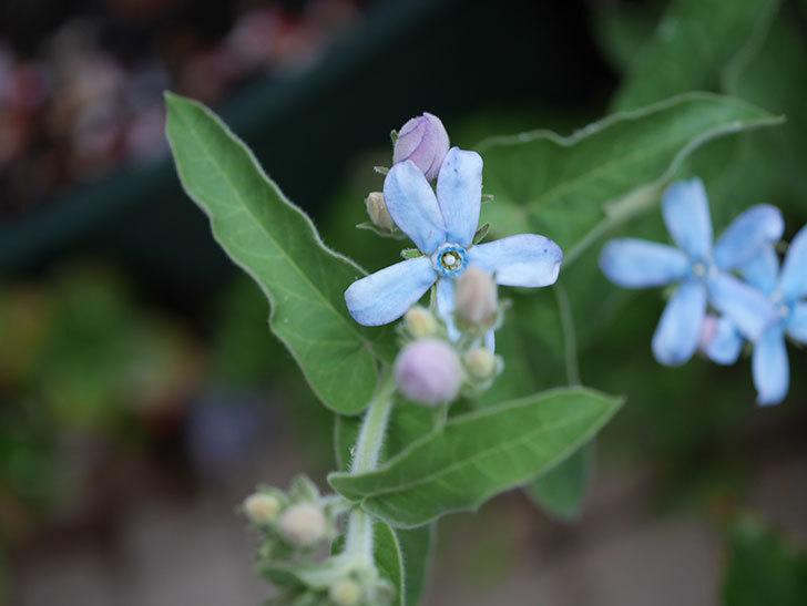 オキシペタラム ブルースターの花が咲いた。2020年-002.jpg