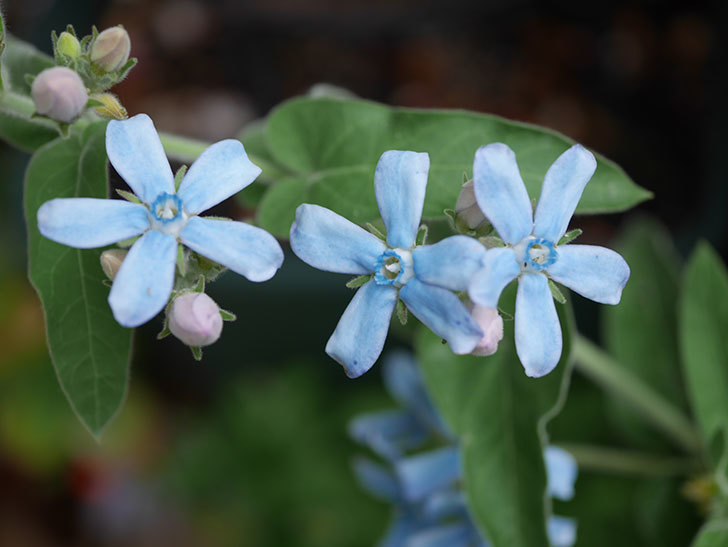 オキシペタラム ブルースターの花が咲いた。2020年-004.jpg