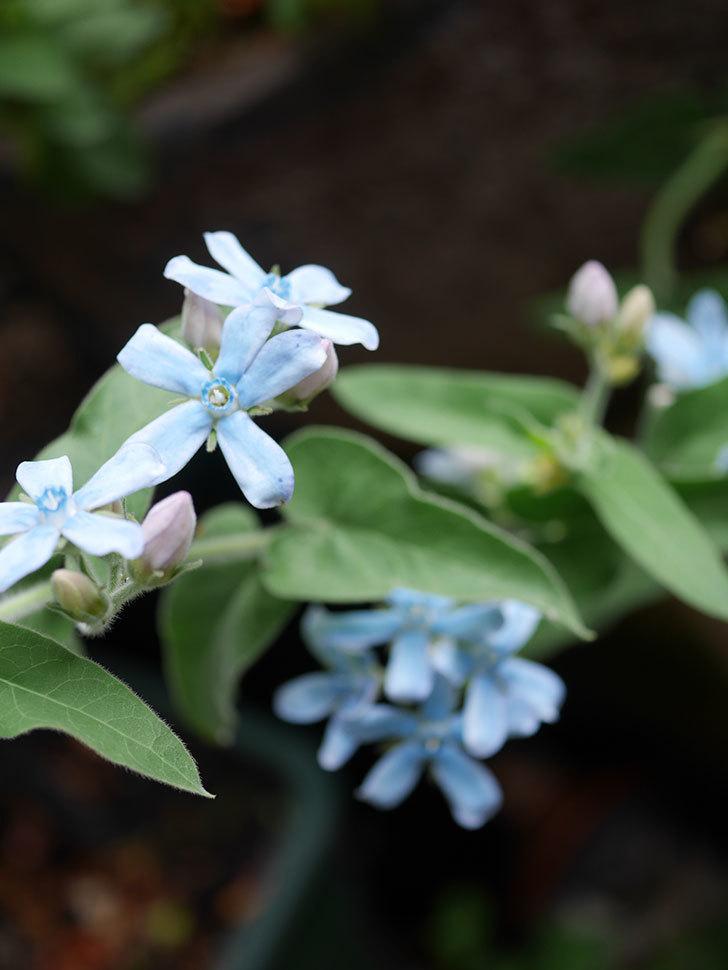 オキシペタラム ブルースターの花が咲いた。2020年-006.jpg