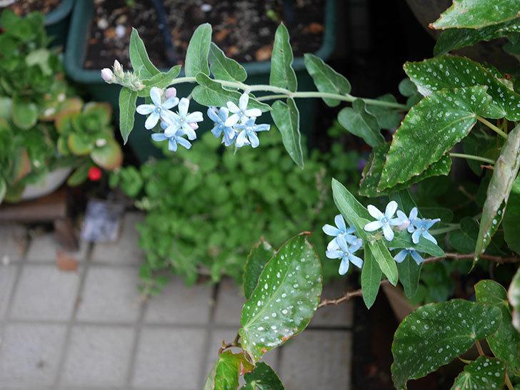 オキシペタラム ブルースターの花が咲いた。2020年-010.jpg