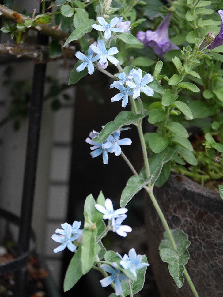 オキシペタラム ブルースターの花が咲いた。2020年-014.jpg