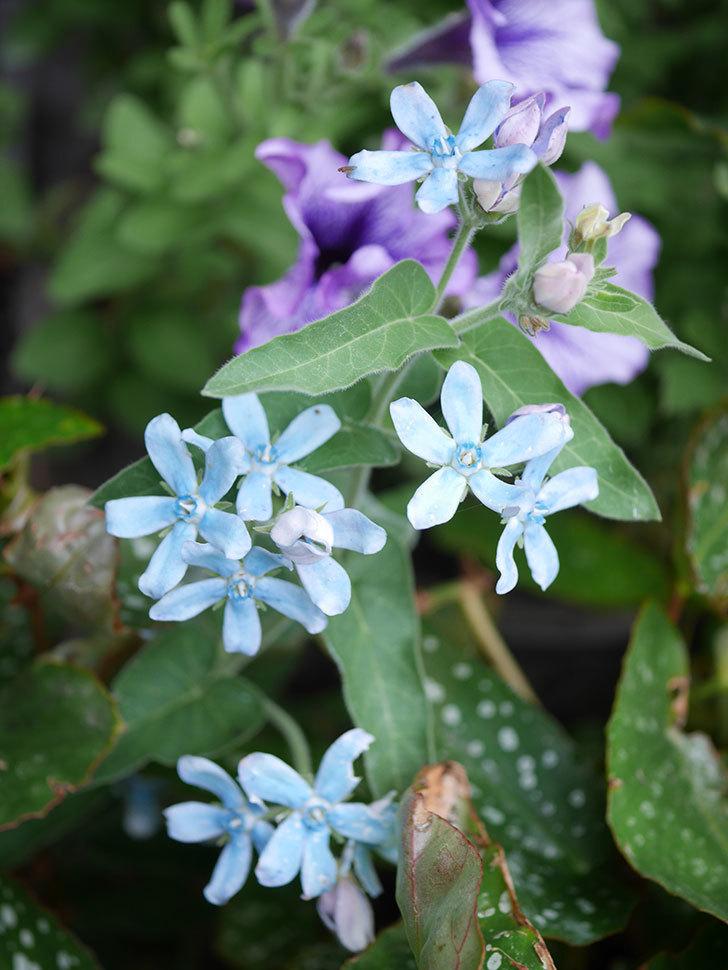 オキシペタラム ブルースターの花が咲いた。2020年-017.jpg