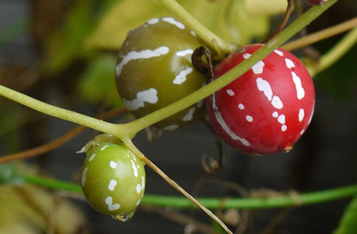 オキナワスズメウリの実が真っ赤になった。2015年-2.jpg