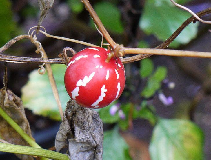 オキナワスズメウリの実が真っ赤になった。2015年-3.jpg