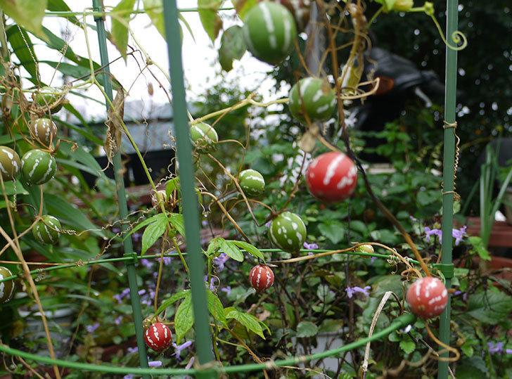 オキナワスズメウリの実が真っ赤になった。2015年-4.jpg