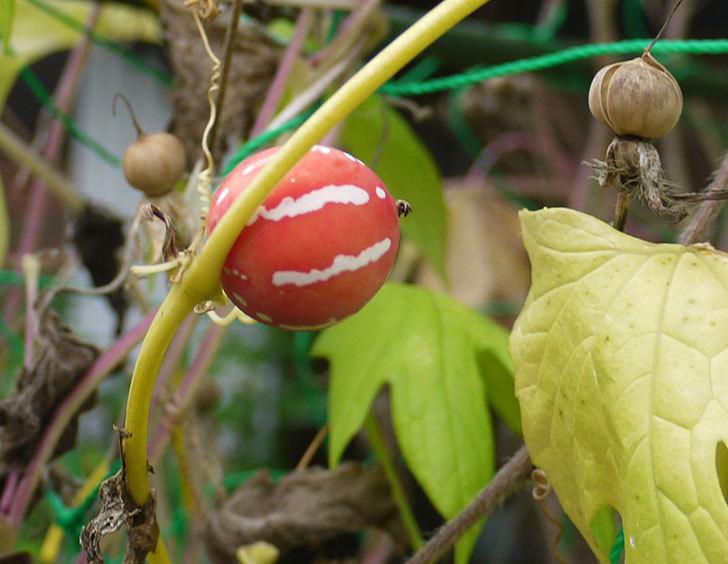オキナワスズメウリの実が赤くなってきた。2016年-1.jpg