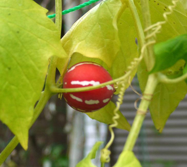オキナワスズメウリの実が赤くなってきた。2016年-2.jpg