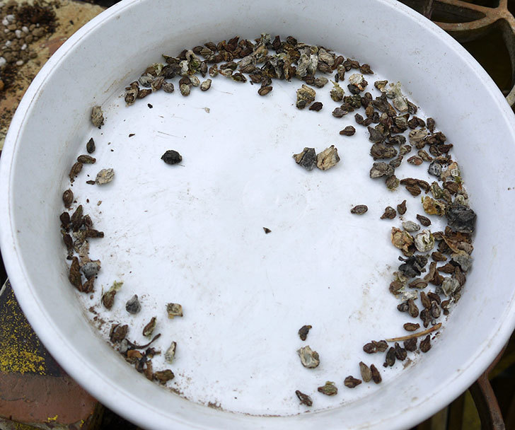 オキナワスズメウリの種を蒔いた。2017年-1.jpg