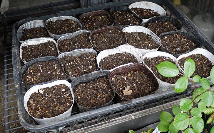 オキナワスズメウリの種を蒔いた。2017年-5.jpg