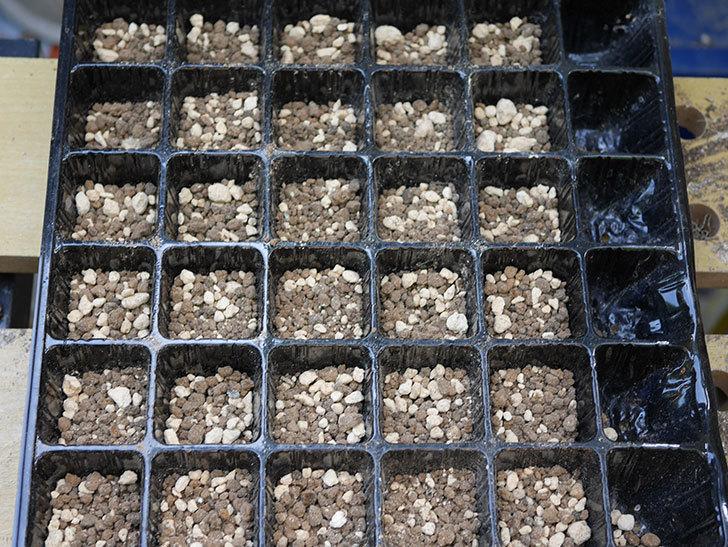 オキナワスズメウリの種を蒔いた。2018年-4.jpg
