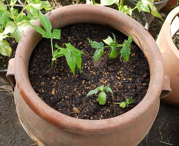 オキナワスズメウリを鉢に植え換えた。2016年-1.jpg