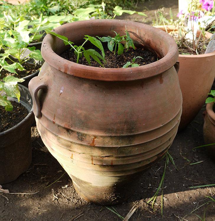 オキナワスズメウリを鉢に植え換えた。2016年-6.jpg