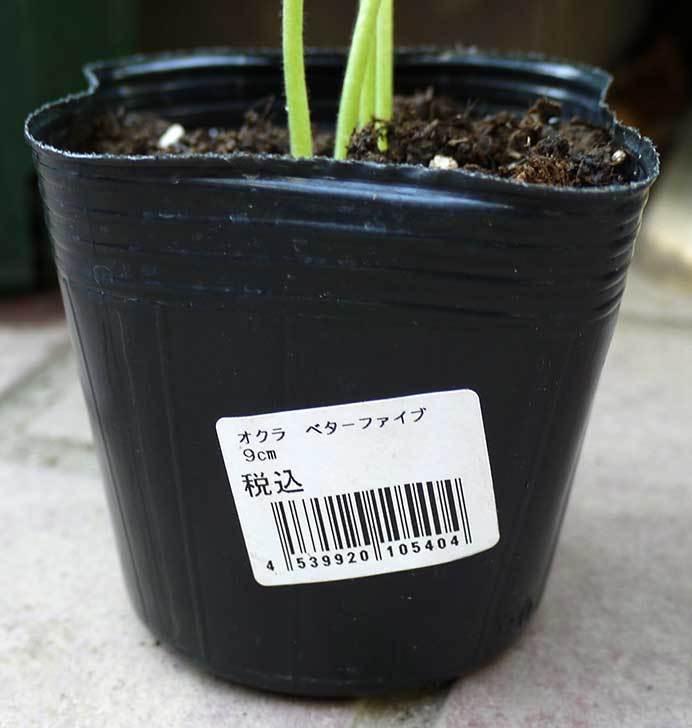オクラ-ベターファイブの苗をカインズで買って来た2.jpg