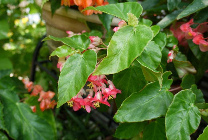 オサヒメ(木立ベゴニア)が咲いた。2015年-4.jpg