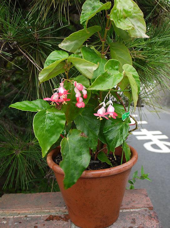 オサヒメ(木立性ベゴニア)が咲いた1.jpg