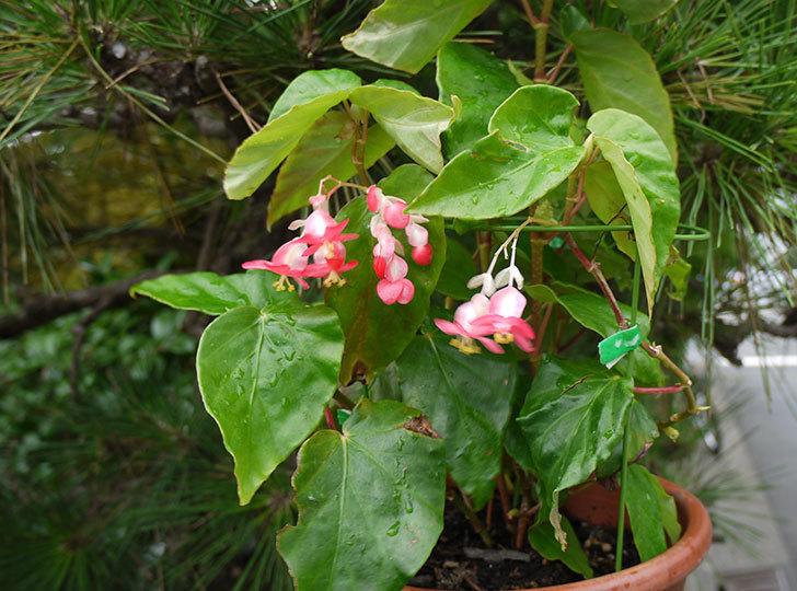 オサヒメ(木立性ベゴニア)が咲いた3.jpg