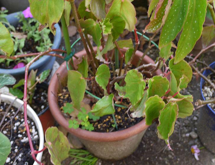 オサヒメ(木立性ベゴニア)をスリット鉢に植え替えた。2016年-3.jpg