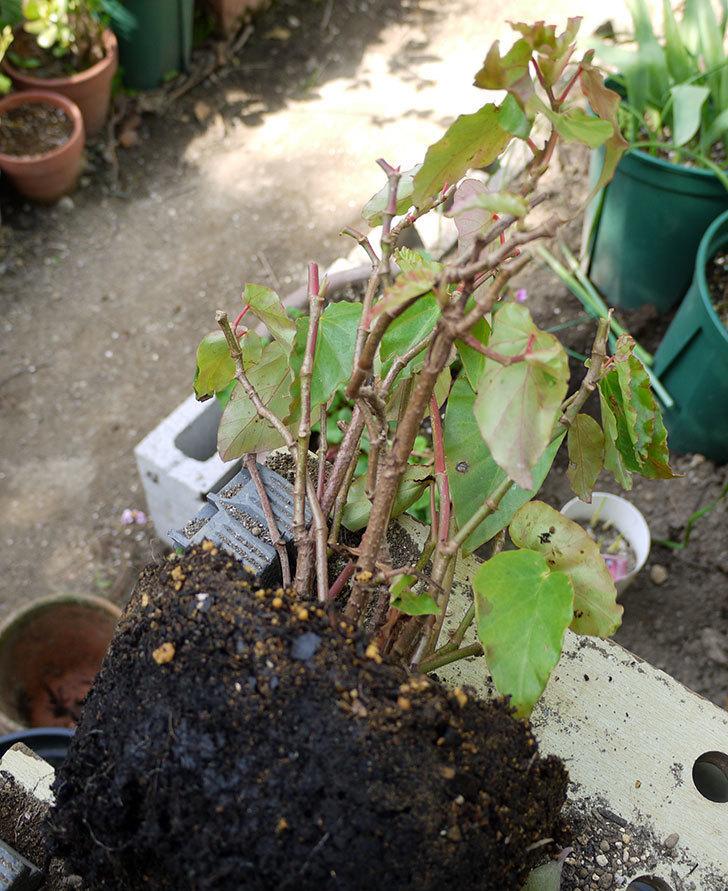 オサヒメ(木立性ベゴニア)をスリット鉢に植え替えた。2016年-4.jpg
